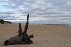 Driftwood. Photographed on an Outer Banks of North Carolina beach royalty free stock photography