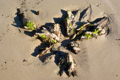 driftwood Royaltyfria Foton