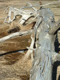 Driftwood. A large section of gnarled driftwood Royalty Free Stock Photography