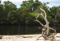 Driftwood από την εκβολή Στοκ Εικόνα