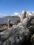 Driftwood. Pacific Northwest beach consumed with driftwood Royalty Free Stock Images