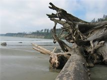 Driftwood along coast. Isolated piece of driftwood on deserted beach Royalty Free Stock Photo