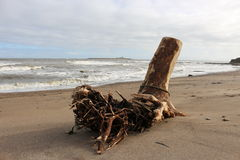 Driftwood Amble beach Royalty Free Stock Photo
