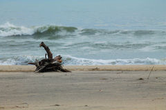 Driftwood on Atlantic Ocean Beach. In Assateague Virginia Stock Image
