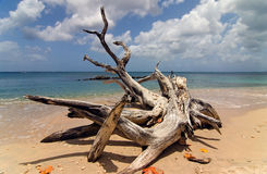 Driftwood in Barbados Fotografia Stock