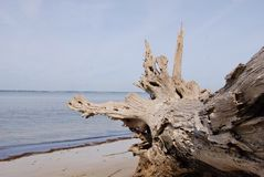 Driftwood at the beach Royalty Free Stock Image