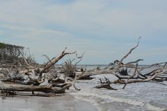 Driftwood Beach,Big Talbot Island State Park,Duval county,Atlantic Ocean,Florida.  royalty free stock images