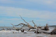 Driftwood Beach,Big Talbot Island State Park,Duval county,Atlantic Ocean,Florida.  royalty free stock image