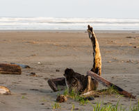 Driftwood on a beach Royalty Free Stock Photography