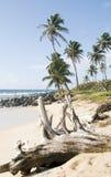 Driftwood  beach Corn Island Nicar Royalty Free Stock Photography