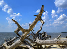 Driftwood on the Beach. Driftwood on the beach at Jekyll Island, Georgia royalty free stock photo