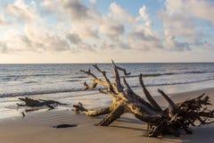 Driftwood Beach, Jekyll Island Georgia. Fallen dead tree on the shore at Driftwood Beach, Jekyll Island Georgia Stock Image