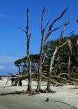 Driftwood Beach Jekyll Island Royalty Free Stock Photography
