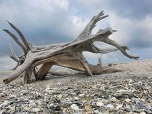 Driftwood Beast. A large piece of driftwood resembling a running beast Royalty Free Stock Photo
