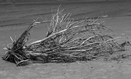 Driftwood in Black and White Royalty Free Stock Photos