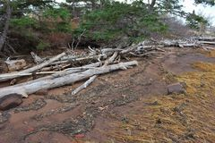 Driftwood bleached white piled on the beach with seaweed and beach grass dried and brown in November. Driftwood logs among the rocks below a field in Wallace Bay stock images