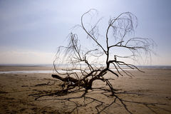 Driftwood branch on beach. A driftwood piece of branch on Berrow beach in Somerset Stock Photos