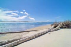 Driftwood cali drzewa na plaży Obraz Royalty Free