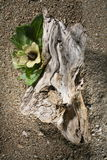 Driftwood con el flor amarillo Imagen de archivo