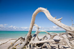 Driftwood on Cuban beach Stock Photography