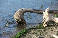 Driftwood Log, Curved. Driftwood curved log in the water at the beach in Seahurst Park stock photos