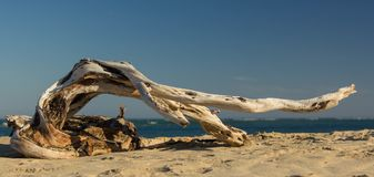 Driftwood Dancer stock photography