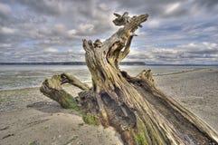 Driftwood en la isla de Whidbey, Washington Imágenes de archivo libres de regalías