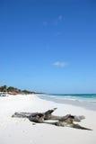 Driftwood en la playa del paraíso Foto de archivo libre de regalías