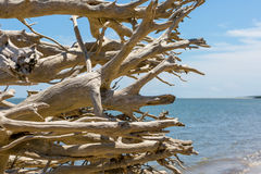 Driftwood on a Florida beach Stock Photography