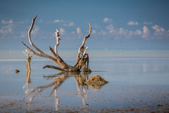 Driftwood in the keys royalty free stock photography