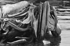 driftwood lakeshore royaltyfri bild
