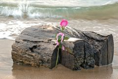 Pink rose on driftwood. Driftwood log on beach with waves and single pink rose Stock Images