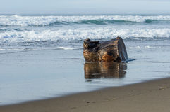 Driftwood log washed up on a sandy beach Royalty Free Stock Images