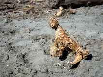 Driftwood. Looks like some strange animal. Sea creature maybe. Fun object search on the beach Stock Photo