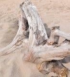 Driftwood na piaskowatej plaży fotografia royalty free