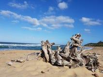 Driftwood na plaży zdjęcie royalty free