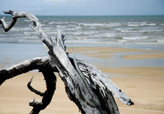 Driftwood na praia Imagem de Stock Royalty Free