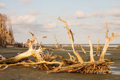 Mycket Driftwood royaltyfri bild