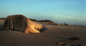Driftwood plaża Zdjęcie Royalty Free