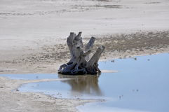 Driftwood reflected in a pond. Royalty Free Stock Photo