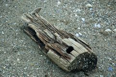 Driftwood resembling an animal skull Royalty Free Stock Photo