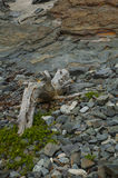Driftwood and Rocks. This large piece of driftwood was settled on a bed of rocks Royalty Free Stock Photography