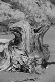 Driftwood Root Ball Stock Image