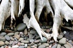 driftwood rotar royaltyfria bilder