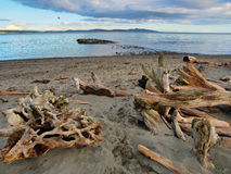 Driftwood on sandy ocean beach Royalty Free Stock Photo