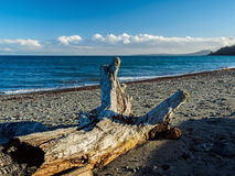 Driftwood on a sandy ocean beach Royalty Free Stock Photography