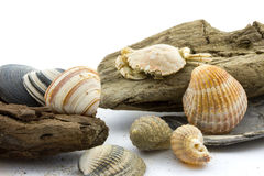 Driftwood with seashells  Stock Photography
