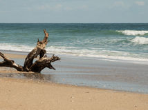 Driftwood on the Shore II. The remnants of a tree slowly wash into the sea Stock Images