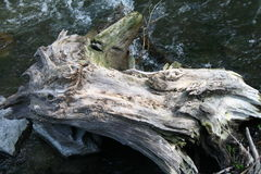 Driftwood Stump along riverside. A gnarled stump that washed up along riverbank Stock Image