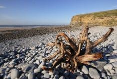 Driftwood sulla spiaggia di Dunraven Immagine Stock